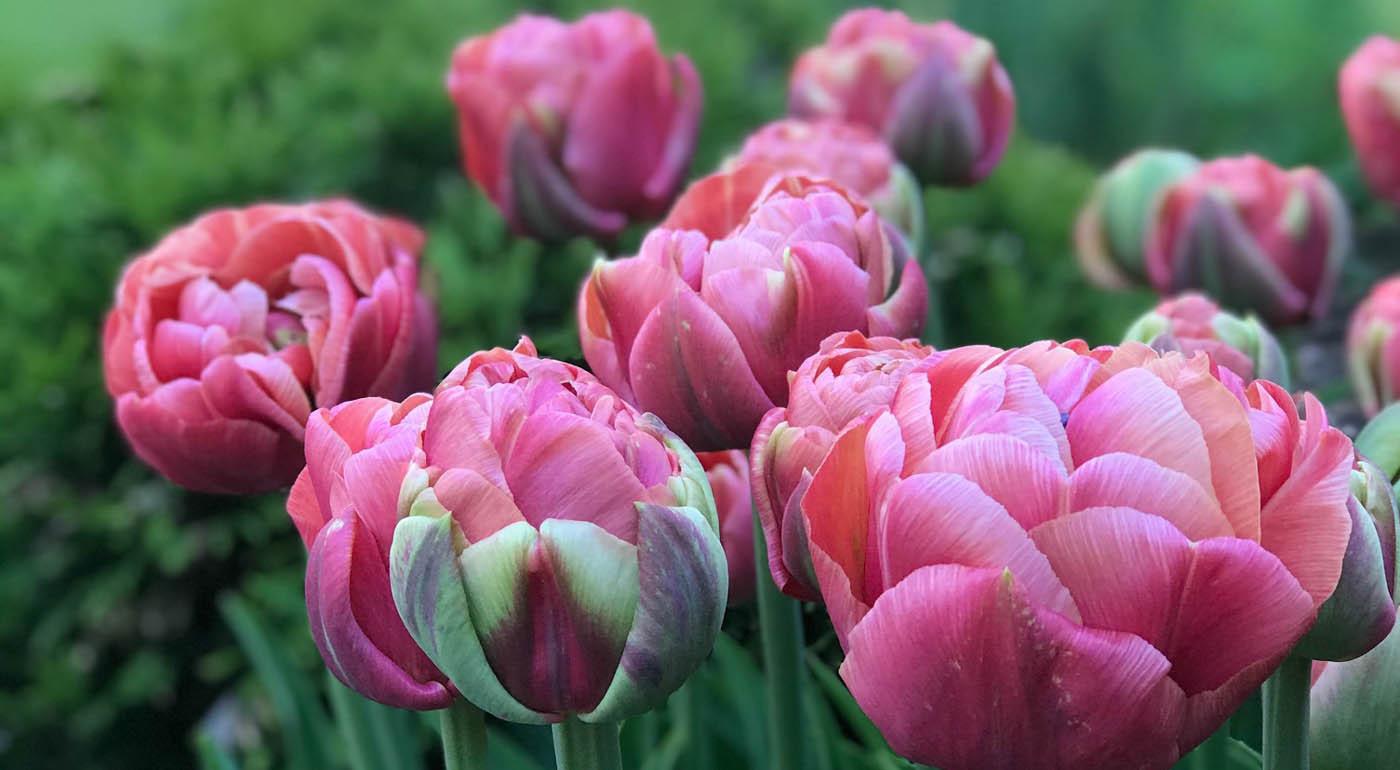 Kukkasipulit