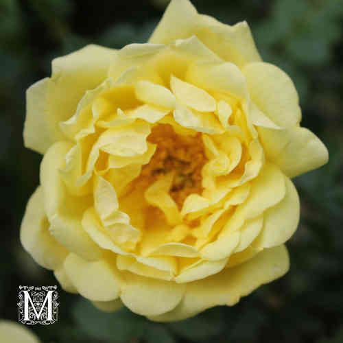Harisoninruusu 'William´s Double Yellow' FinE
