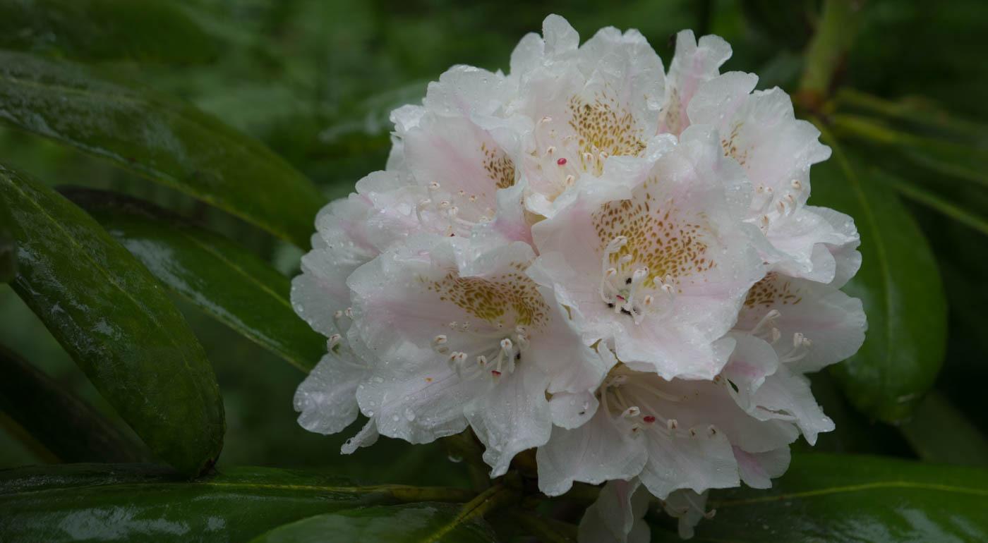 Suomessa jalostetut alppiruusut