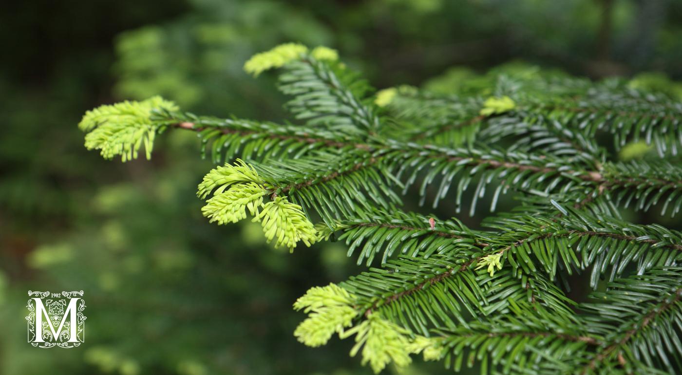 Havupuut ja havupensaat