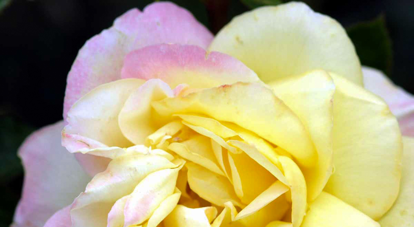 Isokukalliset ruusut