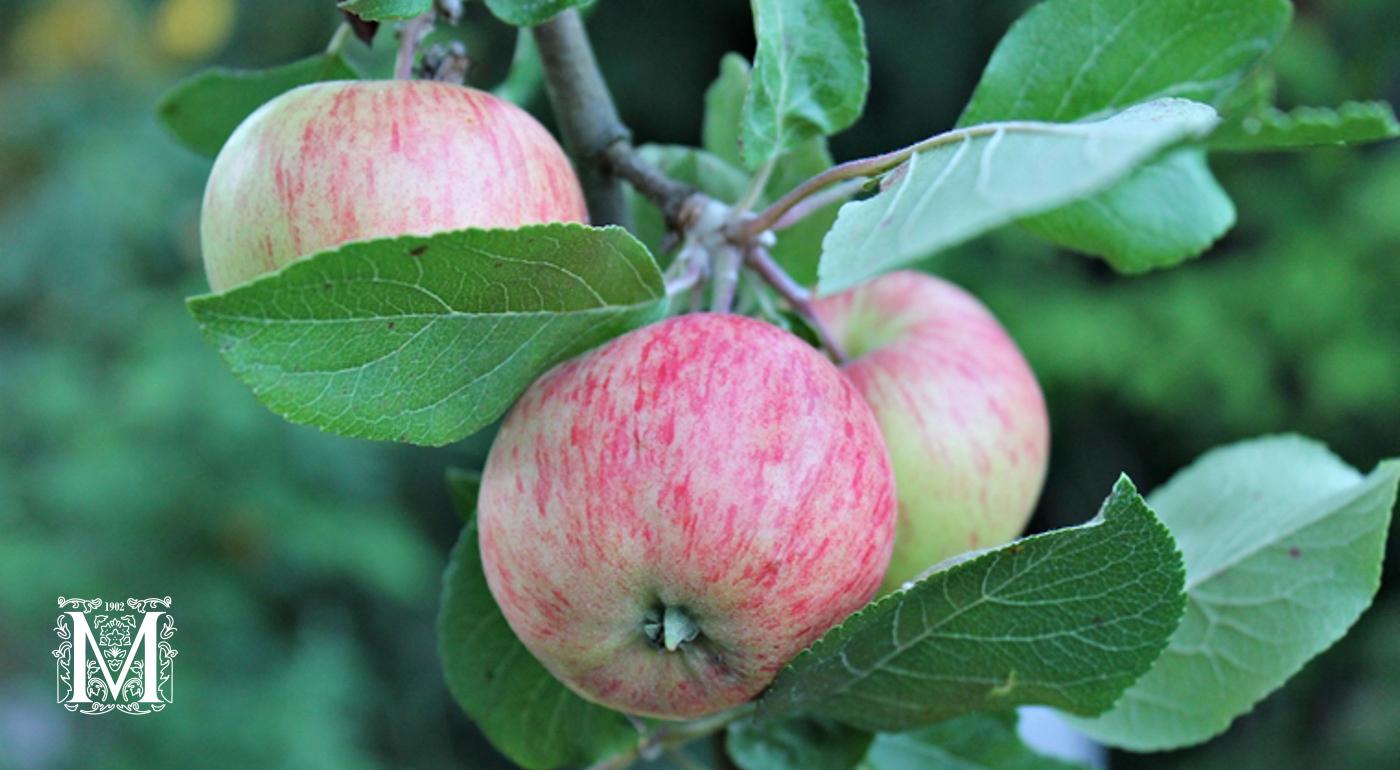 Omenapuut