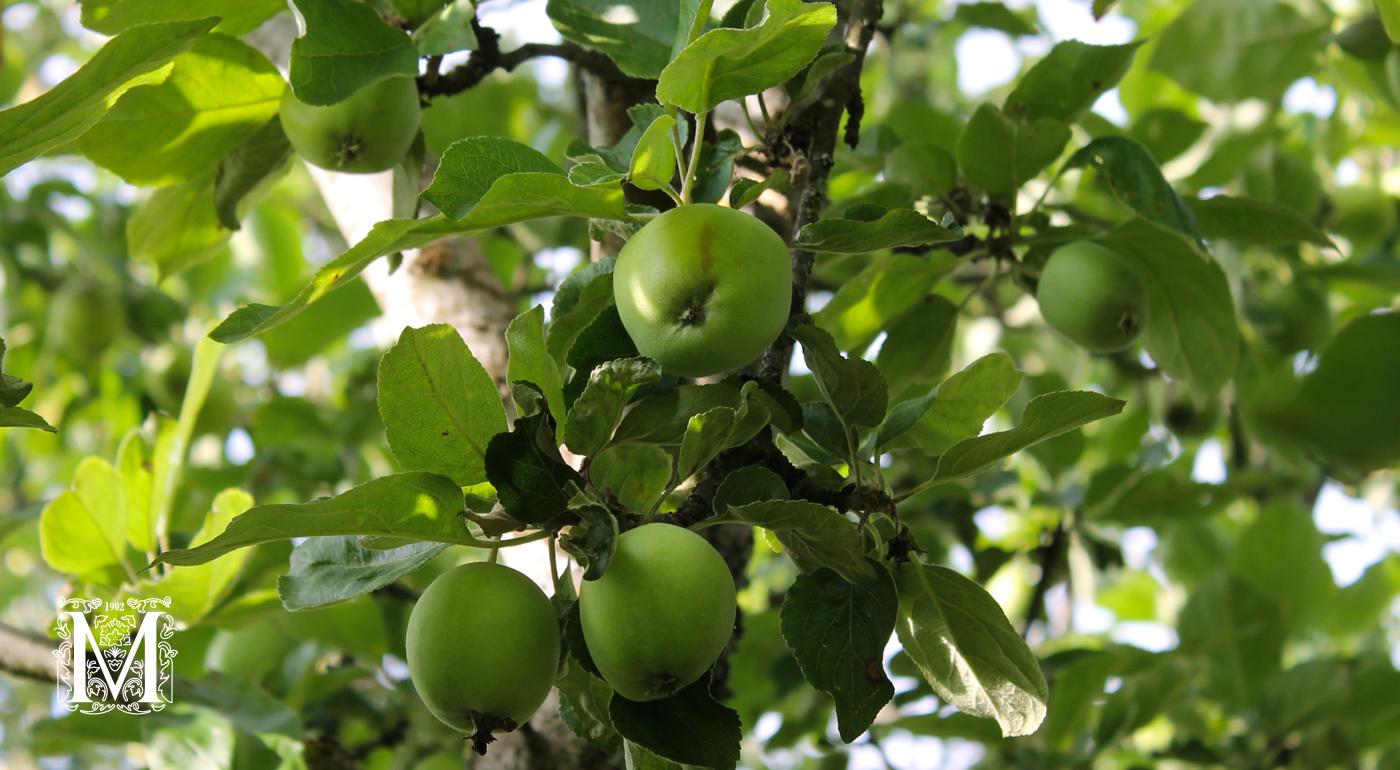 Muut omenapuut