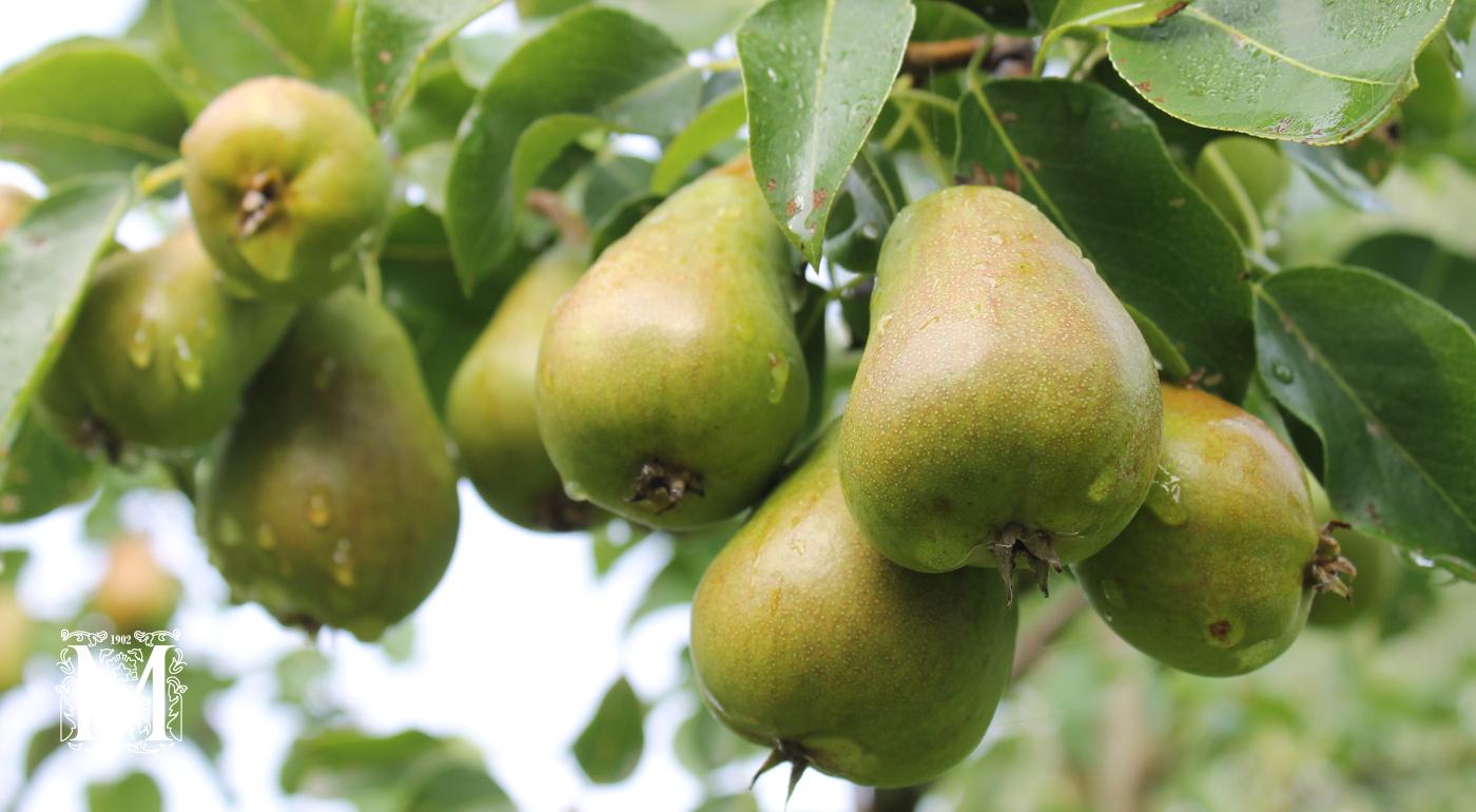 Päärynäpuut